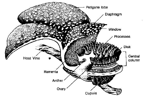 The Full Structure Of The Rafflesia Is Reprented In This Diagram